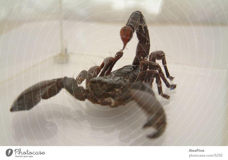 scorpio2 Insekt scorpion Makroaufnahme Gift Stachel
