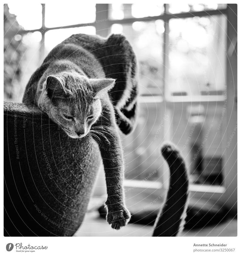 Lazy cat Katze weiß Tier schwarz Spielen Haustier