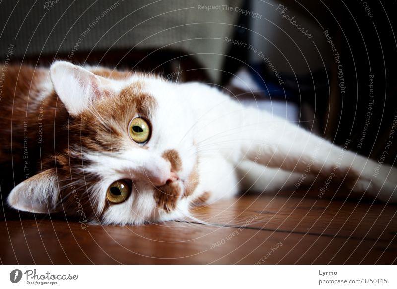 Kateraugen Katze schön grün weiß rot Tier ruhig Leben natürlich Zufriedenheit frei Kommunizieren glänzend liegen elegant Lebensfreude