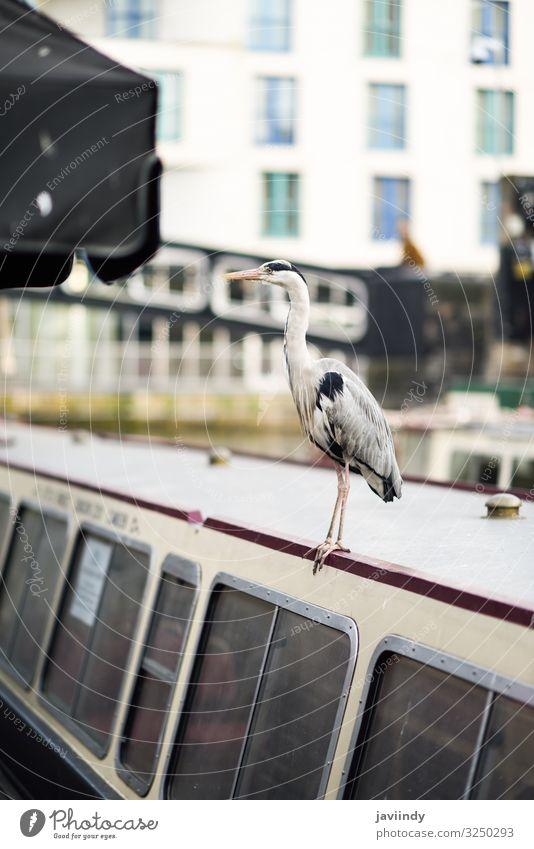 Reiher oder ardea cinerea in Klein-Venedig, Camden Town, London, UK Ferien & Urlaub & Reisen Tourismus Sightseeing Tier Herbst Fluss Stadt Brücke Wasserfahrzeug