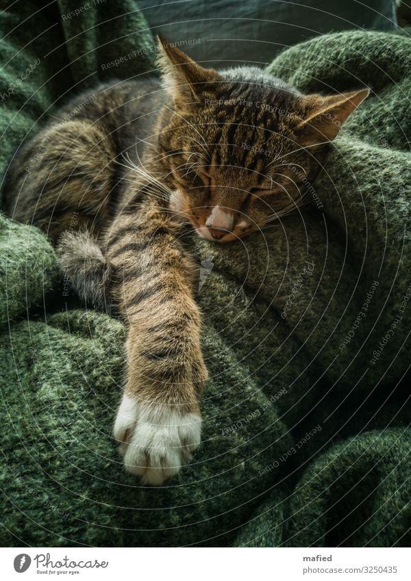 Anpassungsfähig Erholung ruhig Tier Haustier Katze Fell Krallen Pfote Kater 1 genießen liegen schlafen braun grau grün Zufriedenheit Vertrauen Geborgenheit