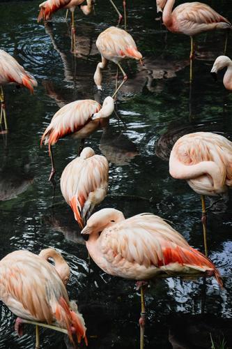 Flamingos Lifestyle elegant exotisch Freude Ferien & Urlaub & Reisen Tourismus Ausflug Abenteuer Safari Sommer Garten Umwelt Natur Landschaft Tier Wasser Klima