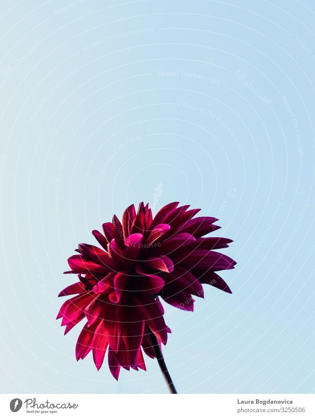 Eine Blume im Sonnenuntergang Kunst Umwelt Natur Landschaft Pflanze Urelemente Erde Himmel nur Himmel Wolkenloser Himmel Sonnenaufgang Sonnenlicht Sommer Klima