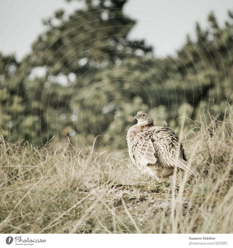 gut getarnt Tier Leben Wildtier beobachten Stranddüne bleich Spiekeroog Dünengras Fasan Ein Tier