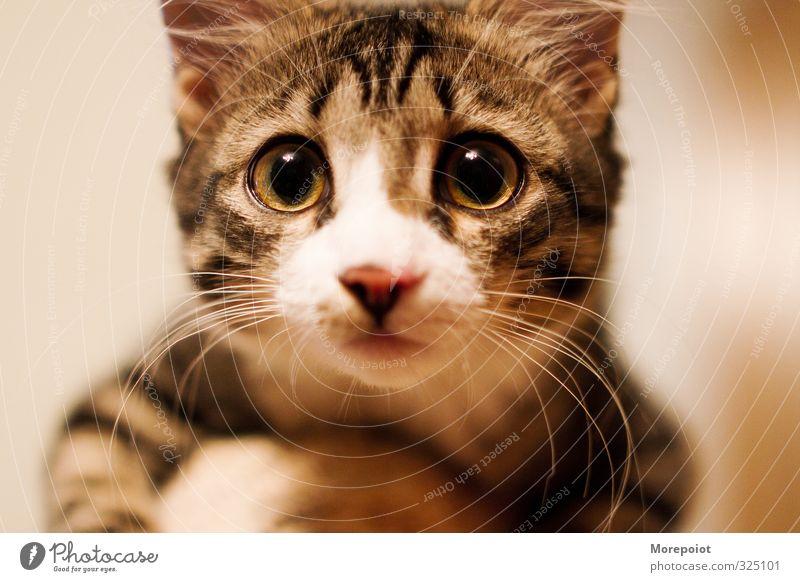 Katze weiß Tier schwarz gelb Tierjunges Gefühle natürlich braun niedlich genießen Tiergesicht Haustier