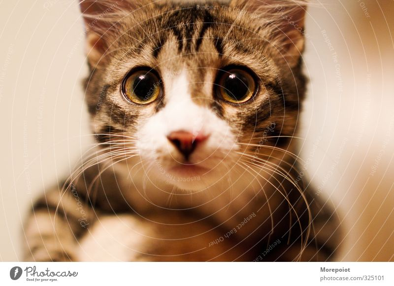 Liebe in den Augen Tier Haustier Katze Tiergesicht 1 Tierjunges genießen Blick natürlich niedlich braun gelb schwarz weiß Gefühle Farbfoto Innenaufnahme