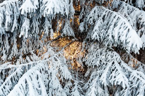 Vorglühen Weihnachten & Advent Natur Winter Schnee Ast Fichte kalt Vorfreude Wärme besinnlich Farbfoto Außenaufnahme Nahaufnahme Menschenleer Tag