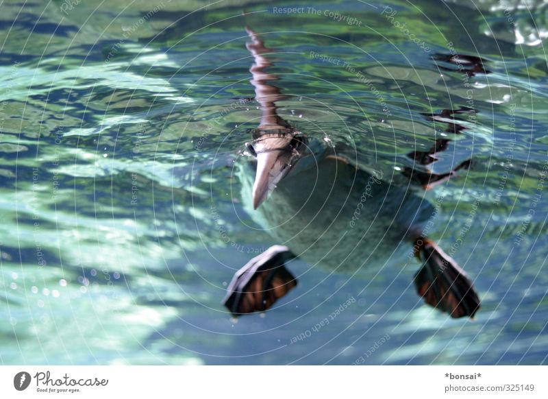 hallo 2014! Wasser Tier Vogel Zoo Basstölpel Schwimmen & Baden beobachten frech frisch nass Neugier Tierliebe Leichtigkeit Natur Schnabel tauchen