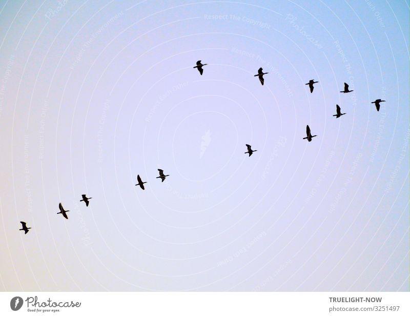 Wenn die Kraniche ziehen... Ein Vogelzug Wildenten fliegt in spitzer V Formation an einem schönen Spätnachmittag nach Norden Umwelt Natur Luft Himmel