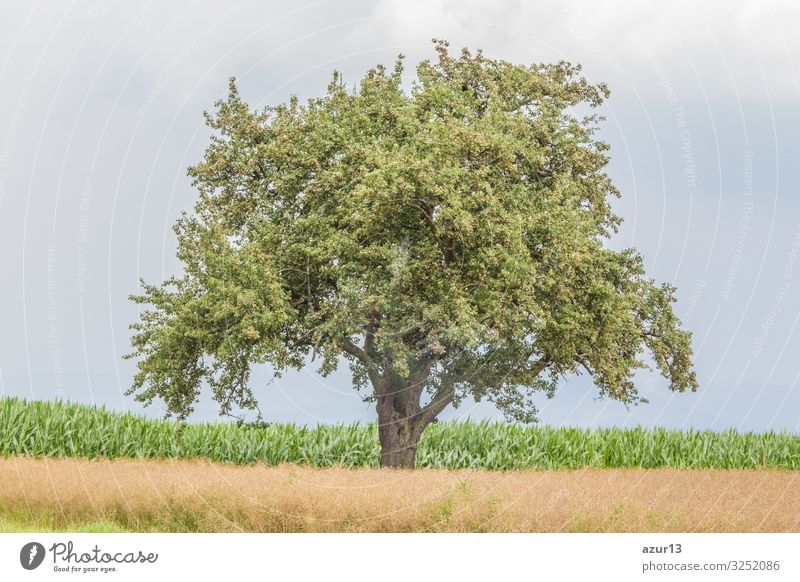Large single tree in warm summer nature with juicy leaves Getränk Leben Sommer Natur Wärme Idylle climate change season silence solitude seasonal time year