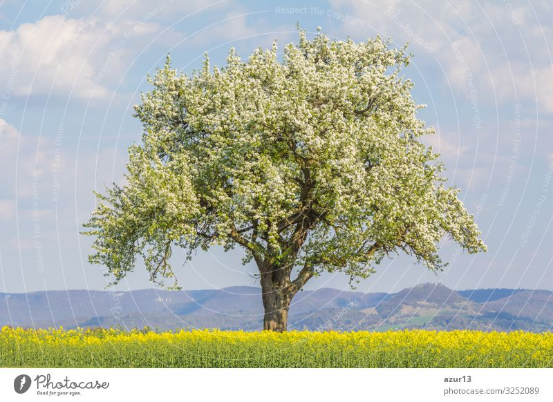 Large single tree in warm spring nature with blooming blossoms Getränk Leben Natur Wärme springen Idylle climate change season silence solitude seasonal time