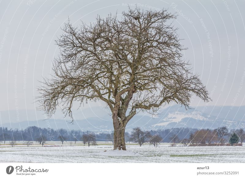 Large single tree in winter snow nature with naked branches Getränk Leben Winter Natur Idylle climate change season silence solitude seasonal time year weather