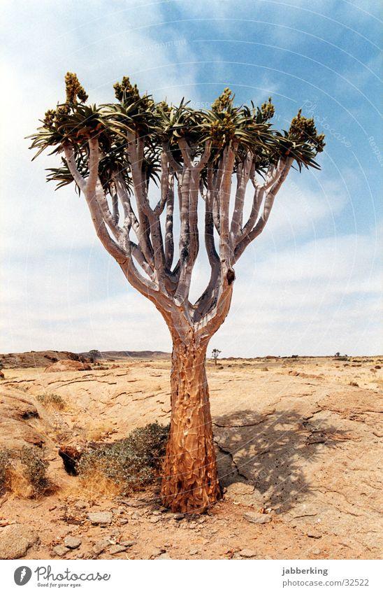 Köcherbaum in Namibia Baum Afrika Wüste