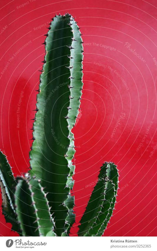kaktus Natur Pflanze grün rot Dekoration & Verzierung Spitze Botanik organisch Kaktus zusätzlich Dorn Zimmerpflanze Topfpflanze Sukkulenten