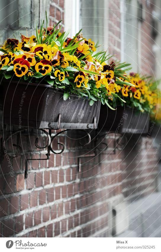 Stiefmütterchen Häusliches Leben Wohnung Dekoration & Verzierung Blume Blüte Topfpflanze Fassade Blühend gelb Blumenkasten Balkonpflanze Fensterbrett
