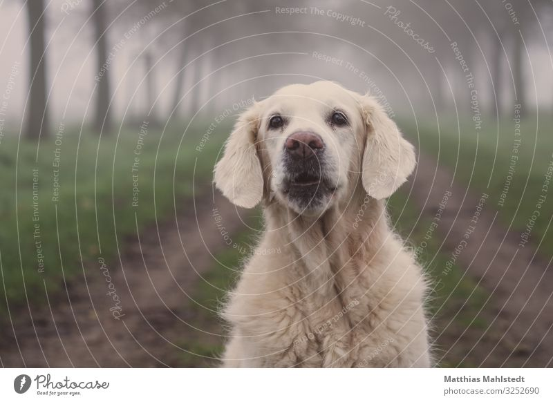 Ho, Ho, Ho! Tier Winter Wetter Nebel Feld Wege & Pfade Haustier Hund Golden Retriever 1 beobachten Kommunizieren sitzen Glück schön kuschlig natürlich niedlich