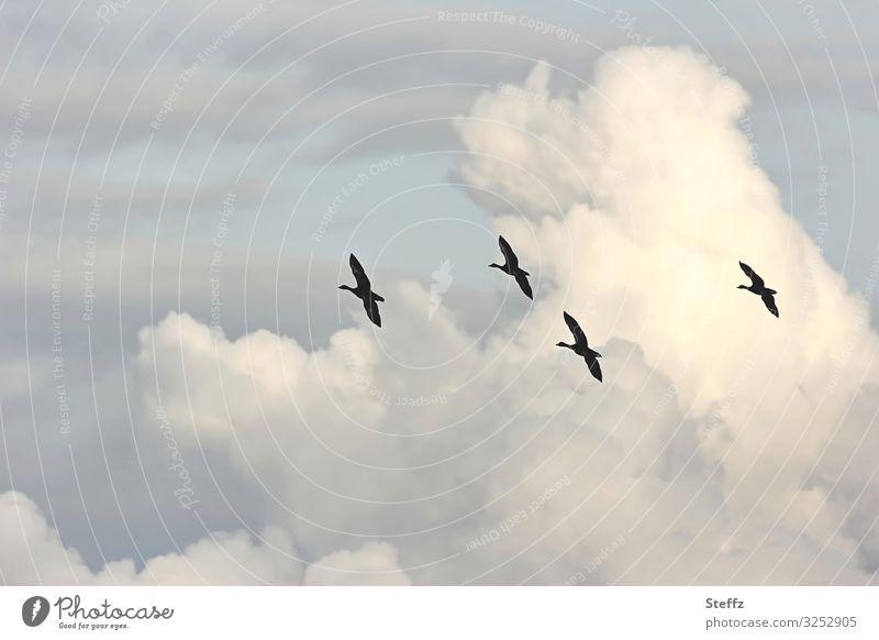 Formationsflug Umwelt Natur Himmel nur Himmel Wolken Herbst Schönes Wetter Deutschland Europa Vogel Wildgans Wildvogel fliegen frei hoch natürlich schön blau