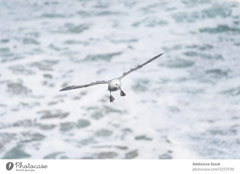 Vogel, der über der Wasseroberfläche fliegt Oberfläche fliegen wild winkend Schnabel Tier Tierwelt Feder Flug Freiheit Fauna Flügel nass Rippeln aqua liquide