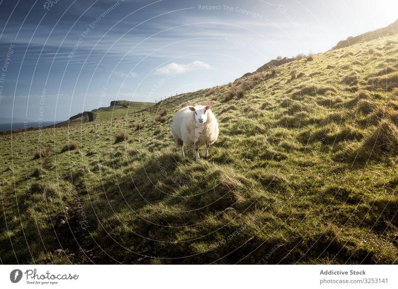 Weisses Schaf auf grünem Frühlingsfeld weiß Gras Feld Hügel Nordirland weiden Natur Rind Viehbestand Weide Wiese ländlich Ackerbau Bauernhof Säugetier Tier