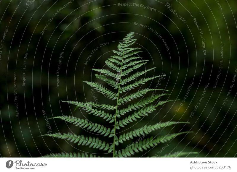 Grünes Blatt in verschwommenem Hintergrund Wurmfarn frisch grün Laubwerk pflanzlich Natur Pflanze Wald Garten Ast Zweig Kraut tropisch Design Botanik Flora