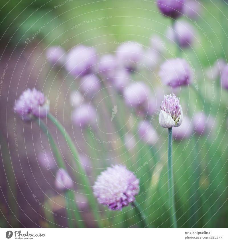 ...lauch auch. Umwelt Natur Pflanze Blüte Nutzpflanze Porree Schnittlauch Garten Blühend frisch natürlich grün violett zart Pastellton Farbfoto Außenaufnahme