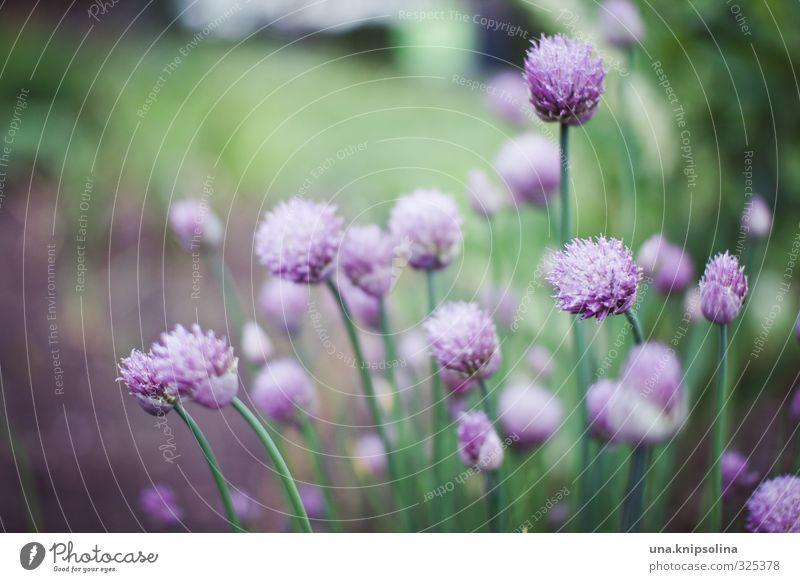 schnittläucher Pflanze grün Blüte natürlich Gesundheit Garten wild frisch violett Kräuter & Gewürze lecker