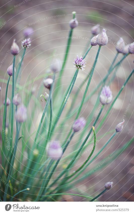 lauch auch Lebensmittel Kräuter & Gewürze Porree Schnittlauch Ernährung Bioprodukte Umwelt Natur Erde Pflanze Nutzpflanze Garten frisch Gesundheit natürlich