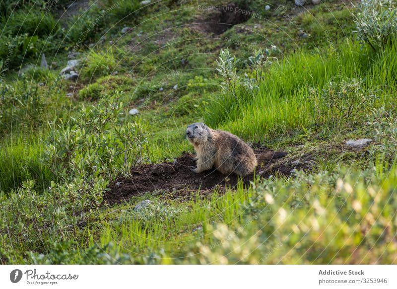 Putziges Murmeltier sitzt auf einer Wiese in der Schweiz wild Tier Erdloch Boden Berge u. Gebirge Nagetiere Natur Fell Säugetier neugierig wach grün Feld Graben