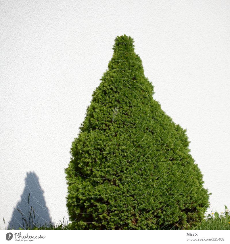 Spitz Baum Garten Mauer Wand Wachstum Buchsbaum Spitze Bonsai Gartenpflanzen Farbfoto Außenaufnahme Menschenleer Textfreiraum oben Hintergrund neutral Schatten