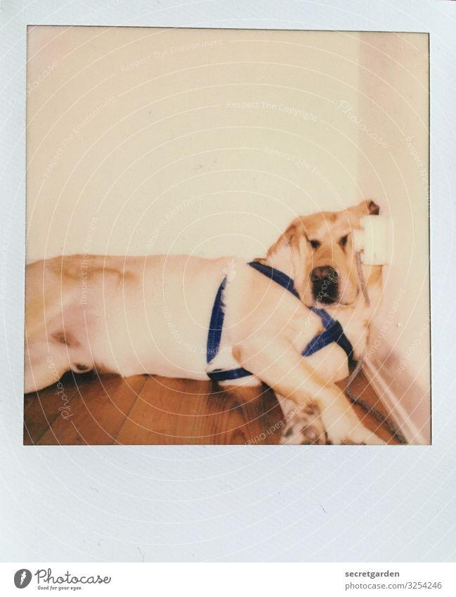 Knautschzone Hund weiß Tier ruhig Wand lustig braun Häusliches Leben Wohnung Zufriedenheit Raum retro schlafen Wellness Wohlgefühl Gelassenheit