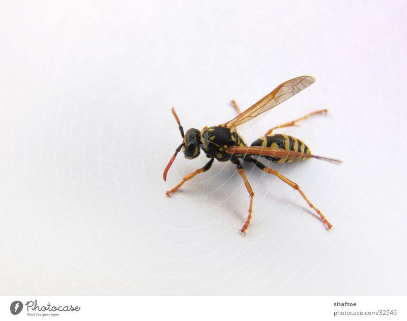 magere Wespe Wespen dünn stechen krabbeln Biene Insekt abgemagert Makroaufnahme fliegen Stachel