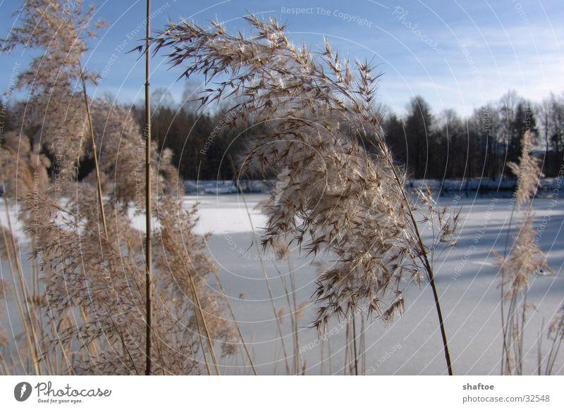 Schilfhalme 2 Winter Tod See Eis Wind gefroren Schilfrohr trocken Gebirgssee