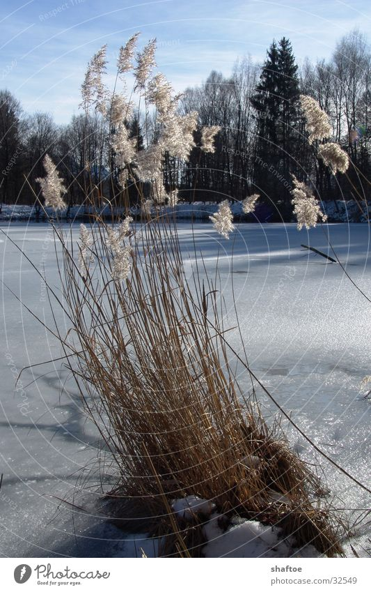 Schilfhalme 1 Winter Tod See Eis gefroren Schilfrohr trocken Gebirgssee