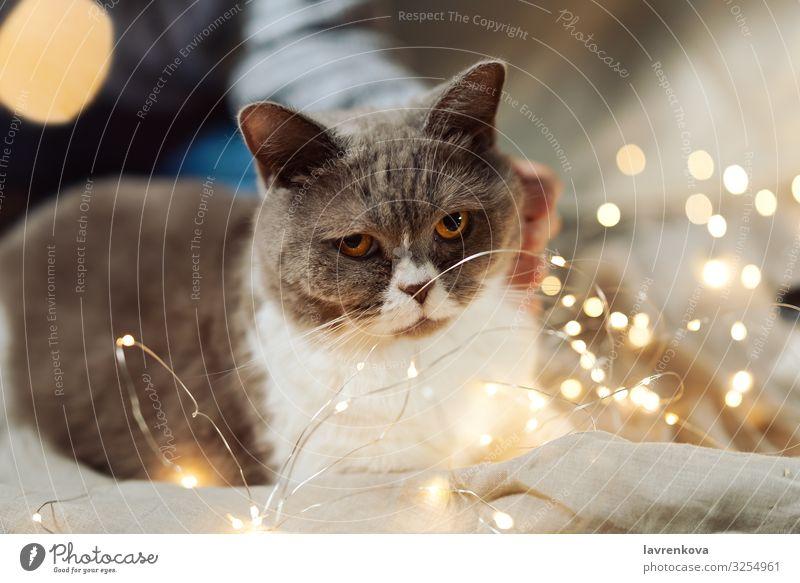 Britische Rassekatze auf einem Bett im Weihnachtsfeelicht Nahaufnahme Hygge gemütlich Unschärfe Licht Weihnachten & Advent Tigerkatze weich fluffig Säugetier
