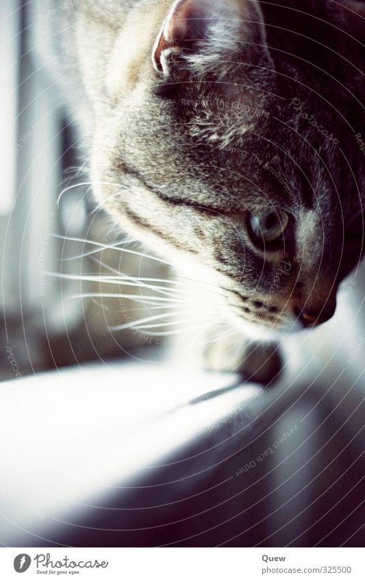 Magnus am Fenster Tier Haustier Katze Tiergesicht Fell 1 grau schwarz Gedeckte Farben Innenaufnahme Licht Schwache Tiefenschärfe Tierporträt Vorderansicht