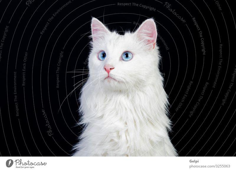 Bezaubernde weiße persische Katze schön Gesicht Tier Pelzmantel Haustier sitzen niedlich blau grau schwarz heimisch Katzenbaby Perserkatze Säugetier eine