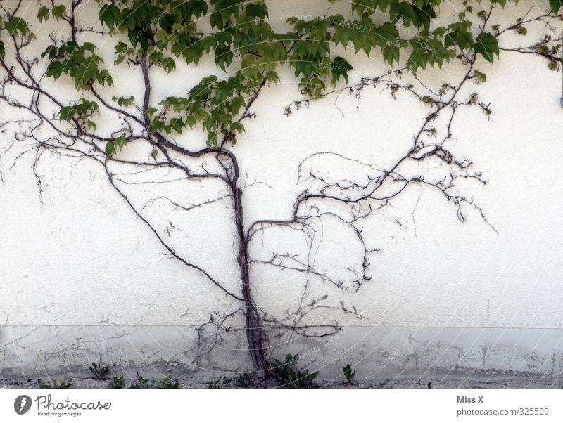 wuchern Häusliches Leben Garten Pflanze Mauer Wand Fassade Wachstum Verfall bewachsen Kletterpflanzen Wilder Wein Ranke Farbfoto Gedeckte Farben Außenaufnahme