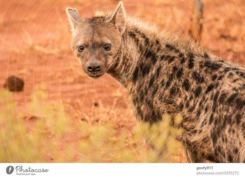 Hyäne Ferien & Urlaub & Reisen Ausflug Abenteuer Ferne Safari Expedition Umwelt Natur Urelemente Erde Sand Südafrika Tier Wildtier Tiergesicht Fell 1 beobachten