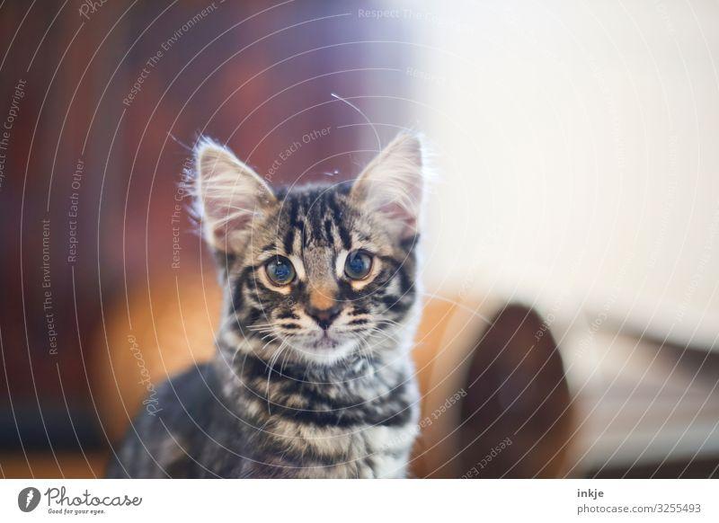 Smilla ist ein puscheliges Katzenkind Haustier Tiergesicht 1 Tierjunges authentisch klein niedlich schön Kindchenschema Farbfoto Innenaufnahme Nahaufnahme