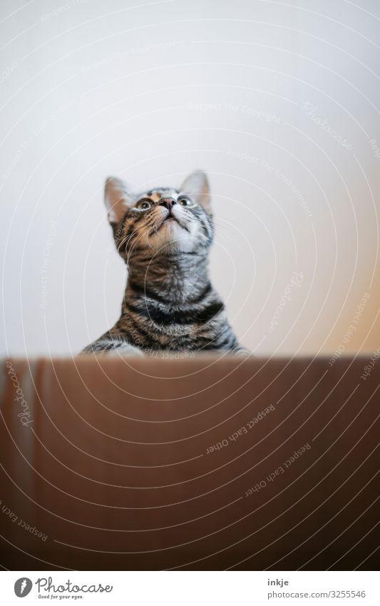 halbes Katzenkind / Vorderteil Tier Tiergesicht 1 Tierjunges Karton beobachten entdecken Blick authentisch hoch klein Neugier niedlich Tigerfellmuster