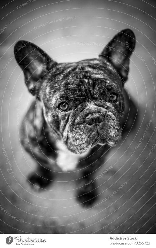 Süßer runzliger Hund sitzt auf dem Boden Haustier niedlich Reinrassig Welpe loyal französische Bulldogge Freund Tier Eckzahn Säugetier Kreatur Stammbaum
