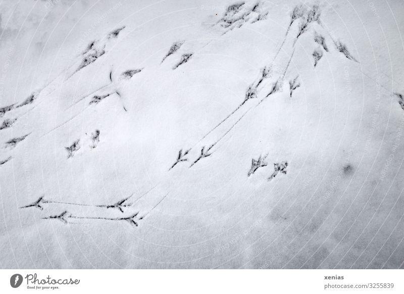 Vogelspuren im Schnee weiß Winter schwarz kalt Spuren Amsel spurenlesen