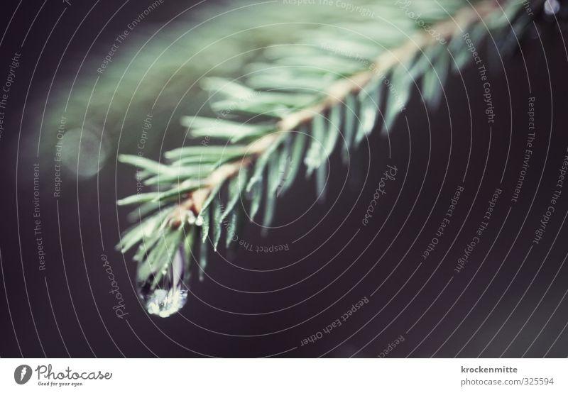 tropfende Tanne Umwelt Natur Pflanze Baum Grünpflanze Wald Flüssigkeit frisch grün Tannenzweig Tannennadel Wassertropfen Wasserspiegelung Blendenfleck