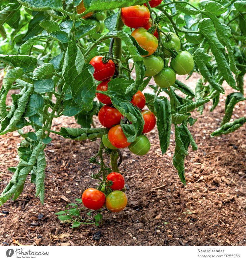 Tomaten im Garten Lebensmittel Gemüse Ernährung Bioprodukte Vegetarische Ernährung Freizeit & Hobby Erde Sommer Pflanze Nutzpflanze Wachstum frisch Gesundheit
