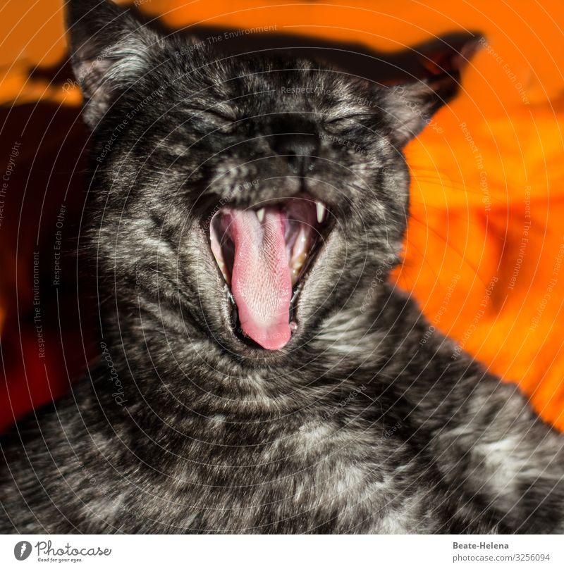 Katzenzunge Wohlgefühl Erholung Wohnung Haustier Tiergesicht atmen schlafen warten Häusliches Leben ästhetisch wild weich orange schwarz Stimmung Leidenschaft