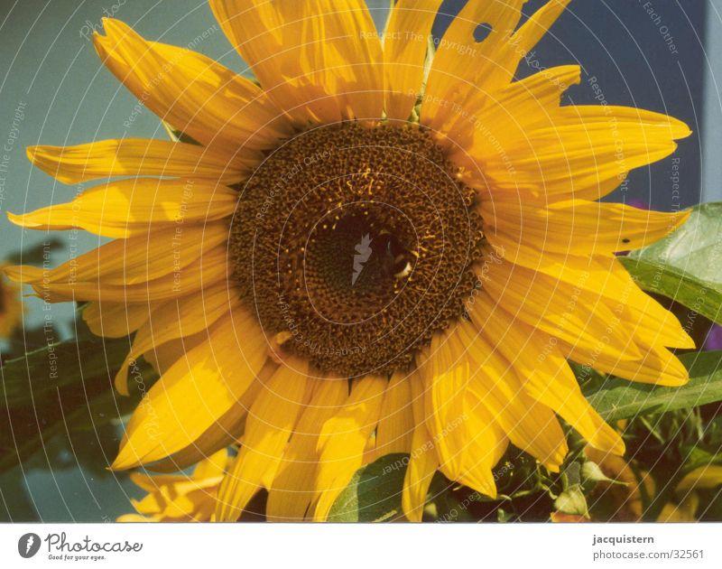 jacquistern Sonnenblume Blume gelb Pflanze sunflower