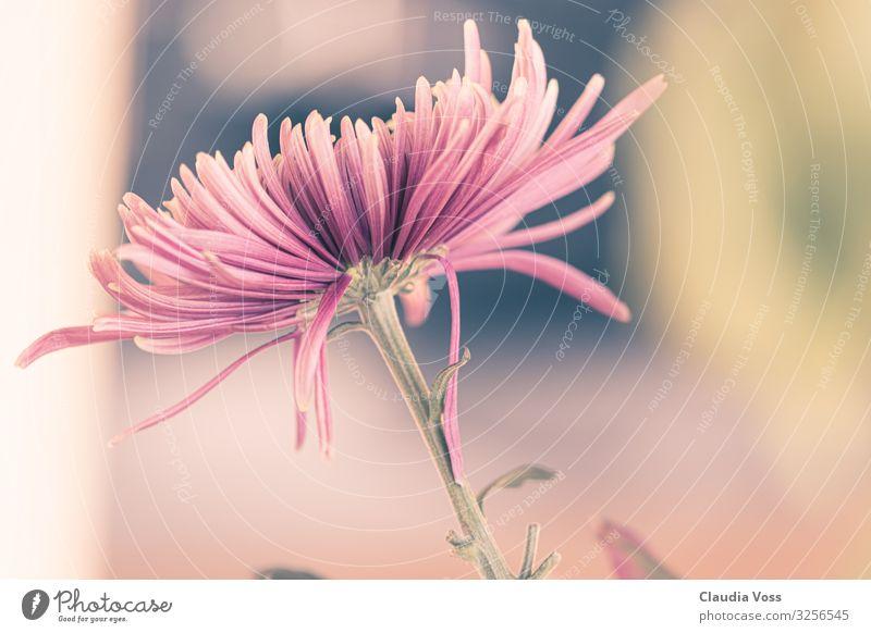Asternblüte Natur Pflanze Blume Blüte außergewöhnlich rosa Lebensfreude Treue Romantik Herbst Herbstblüte herbstlich Nahaufnahme