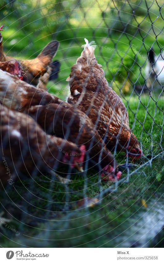 Hühner Fleisch Ernährung Tier Nutztier Vogel Tiergruppe Fressen füttern Hühnervögel Geflügel Geflügelfarm Viehhaltung Freilandhaltung Bioprodukte