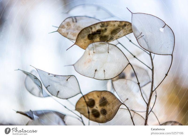 Silberling Natur Pflanze Winter Gartenmondviole Mondviole dehydrieren schön blau braun grau silber Stimmung Wandel & Veränderung Farbfoto Gedeckte Farben