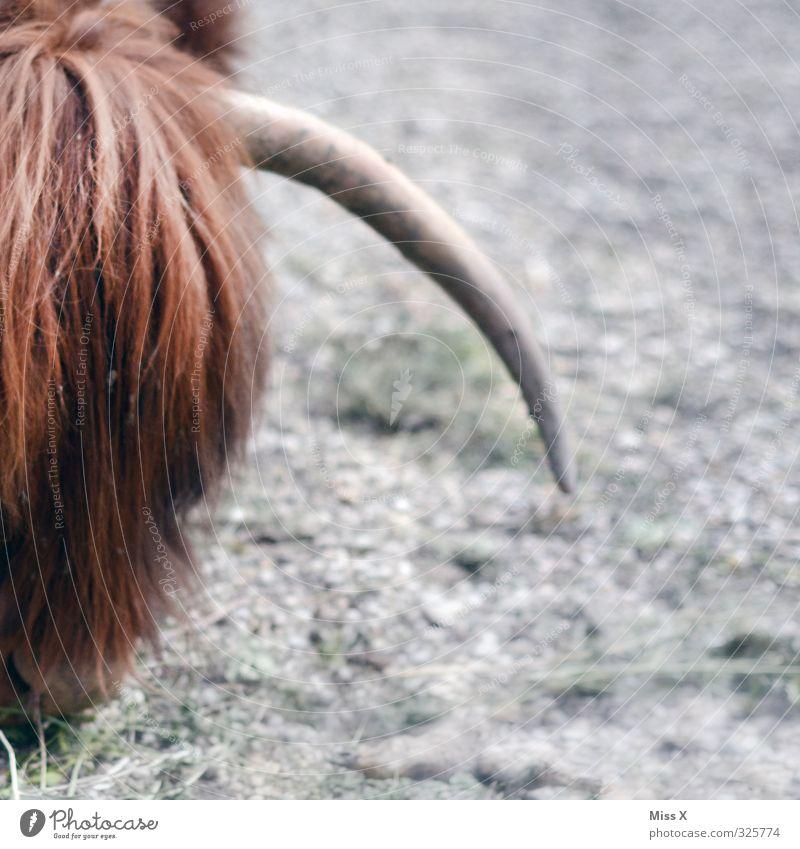 Horn Tier Nutztier Kuh Fell 1 Fressen buschig Haare & Frisuren Pony Spitze gefährlich wild Vieh Viehzucht Viehhaltung Rind Highlander Farbfoto Außenaufnahme